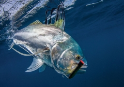 Trophy Roosterfish